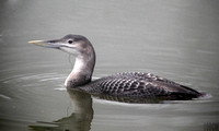 WHITE-BILLED DIVER, WOODHALL SPA