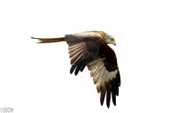 (3) RED KITE, GIGRIN FARM 2
