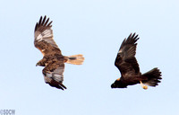 (7) MARSH HARRIER (MALE & JUVENILE), CLEY MARSHES RESERVE