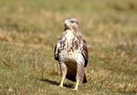 (13) BUZZARD, GIGRIN FARM 1c