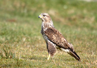 (13) BUZZARD, GIGRIN FARM 1d