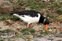 (1) OYSTERCATCHER (ADULT WINTER), HEACHAM