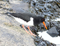(1) OYSTERCATCHER (ADULT WINTER), SEAHOUSES