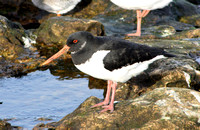 (1) OYSTERCATCHER (ADULT WINTER), SOUTH SHIELDS 1