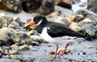(1) OYSTERCATCHER (ADULT WINTER), HARTLEPOOL HEADLAND