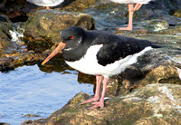 (1) OYSTERCATCHER (ADULT WINTER), SOUTH SHIELDS 2