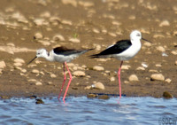 (2) BLACK-WINGED STILT (PAIR), MIDDLETON LAKES RESERVE