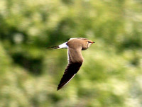 (6) COLLARED PRATINCOLE (ADULT SUMMER), IMMINGHAM 1a