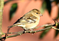 (1) CHAFFINCH (FEMALE), ASHBY-DE-LA-ZOUCH 1
