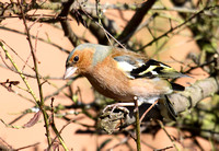 (1) CHAFFINCH (MALE), ASHBY-DE-LA-ZOUCH