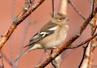 (1) CHAFFINCH (FEMALE), ASHBY-DE-LA-ZOUCH 2