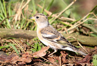 (2) BRAMBLING (FEMALE), CALKE PARK 1
