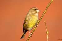 (4) GREENFINCH (FEMALE), ASHBY-DE-LA-ZOUCH 1
