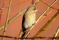 (4) GREENFINCH (FEMALE), ASHBY-DE-LA-ZOUCH 2