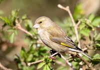 (4) GREENFINCH (FEMALE), CALKE PARK