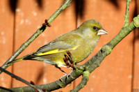 (4) GREENFINCH (MALE), ASHBY-DE-LA-ZOUCH
