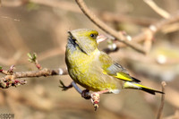 (4) GREENFINCH (MALE), CALKE PARK 3