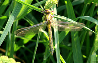 (21) CLUB-TAILED DRAGONFLY (FEMALE, TENERAL), ATCHAM 1
