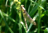 (21) CLUB-TAILED DRAGONFLY (FEMALE, TENERAL), ATCHAM 2