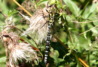 (23) SOUTHERN HAWKER (MALE, IMMATURE), WILLESLEY WOODSIDE 3