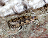 (28.010) Hofmannophila psuedopratella (BROWN HOUSE MOTH), ASHBY DE LA ZOUCH
