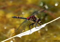 (53) WHITE-FACED DARTER (MALE), WHIXALL MOSS 1a
