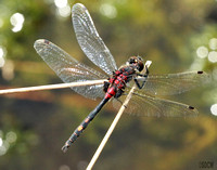 (53) WHITE-FACED DARTER (MALE), WHIXALL MOSS 1b