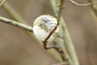 (2) GOLDCREST, KINGSBURY WATER PARK 1a