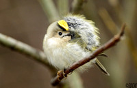(2) GOLDCREST, KINGSBURY WATER PARK 1b