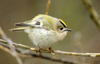 (2) GOLDCREST, KINGSBURY WATER PARK 1g