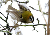 (3) FIRECREST, ATEENBOROUGH