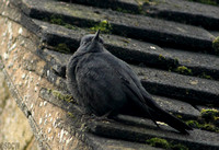 (59) BLUE ROCK THRUSH (MALE), STOW-ON-THE-WOLD 1b