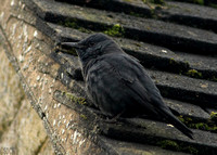 BLUE ROCK THRUSH, STOW-ON-THE-WOLD