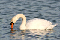 (1) MUTE SWAN (ADULT MALE), EGLETON RESERVE 1a