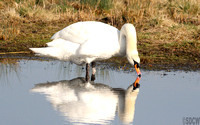 (1) MUTE SWAN (ADULT MALE), BRANDON MARSH RESERVE 1c