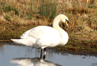 (1) MUTE SWAN (ADULT MALE), BRANDON MARSH RESERVE 1a