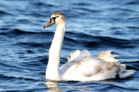 (1) MUTE SWAN (FIRST WINTER), CHASEWATER