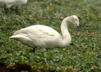 (3) WHOOPER SWAN (JUVENILE), SENCE VALLEY