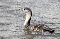 (1) RED-THROATED DIVER (ADULT WINTER), HARTLEPOOL HEADLAND 1a
