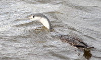 (1) RED-THROATED DIVER (ADULT WINTER), HARTLEPOOL HEADLAND 1c