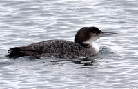 (4) GREAT NORTHERN DIVER (FIRST WINTER), DRAYCOTE WATER