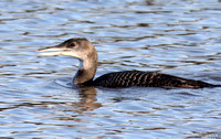 (4) GREAT NORTHERN DIVER (IMMATURE), CHASEWATER 1x