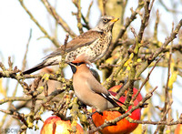 WAXWING & FIELDFARE, GLENFIELD 1