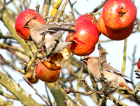 WAXWING, GLENFIELD 10