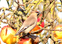 WAXWING, GLENFIELD 12