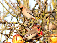 WAXWING, GLENFIELD 13