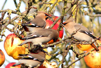 WAXWING, GLENFIELD 15