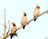 WAXWING, GLENFIELD 4