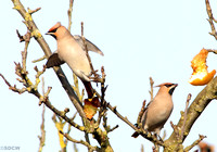 WAXWING, GLENFIELD 7