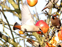 WAXWING, GLENFIELD 9